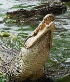 Mouth and teeth of the Cuban crocodile (Crocodylus rhombifer) from the water poster