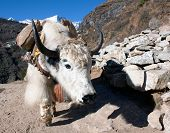 Yak in way to everest base camp - Nepal poster