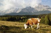 Morning view from Sexten Dolomites (Dolomiti di Sesto) with cow (bos primigenius taurus) in alps on pasture - Dolomiti Italy poster