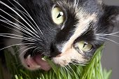 Close-up cat's face eating green grass on grey poster