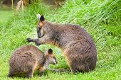 Swamp wallabies in high grass on rainy day in summer poster