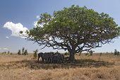 animals 050 elephant under tree poster