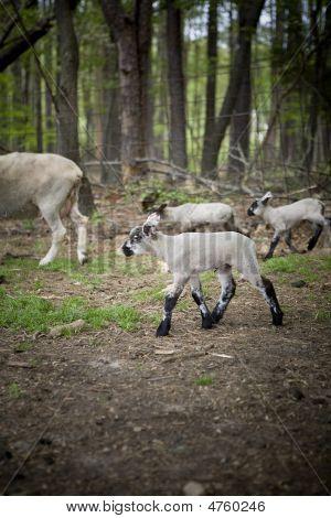 Lamb Walking In Pen
