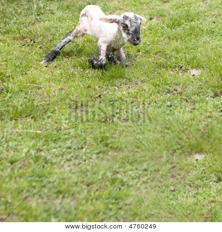 Newborn Lamb Trying To Stand  Square