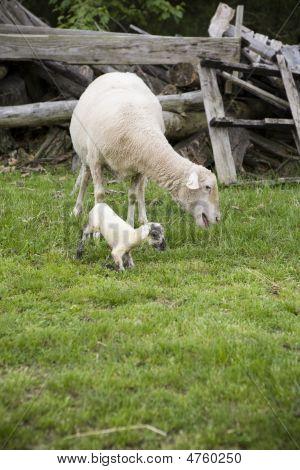 Newborn Lamb Trying To Stand