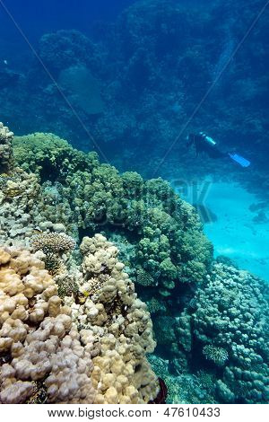 coral reef with stony corals and divers at the bottom of tropical sea on blue water background poster