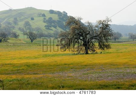 Oak Tree In Spring Meadow