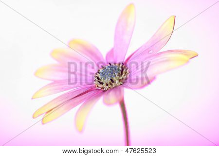 beautiful osteospermum (daisy family), on a gradient background of coloured gels