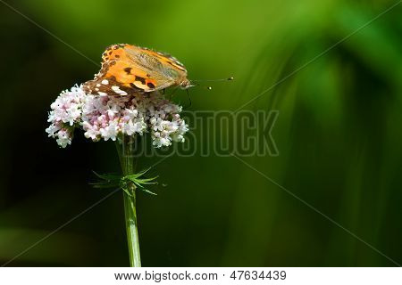 Painted Lady On Blood