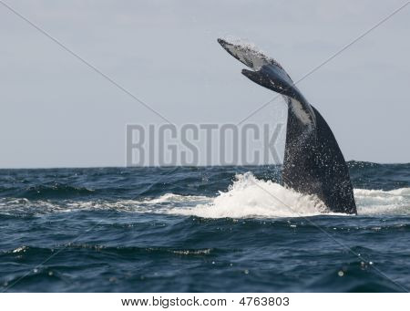 The fluke of a humpback whale in Banderas Bay Mexico. poster