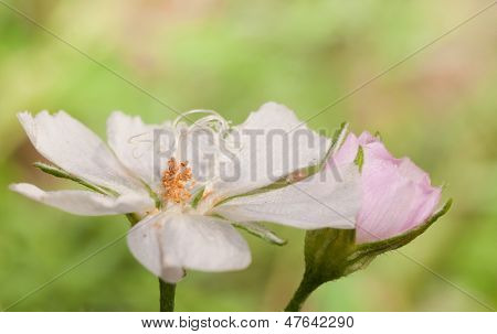 Pale Poppy Mallow flower wide open against light green summer background