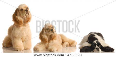 Three Cocker Spaniels