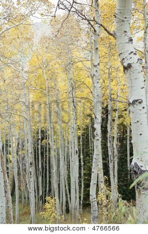 Fall Color Aspen