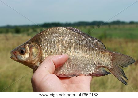 Caught Big Crucian In Hand