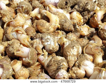 Freshly Caught Whelks