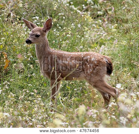 Baby Blacktail Fawn (Columbian Blacktailed Deer)