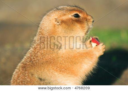 Prairie Dog Eating Piece Of Apple
