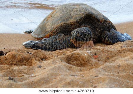 Green Sea Turtle 3