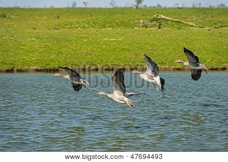 Geese landing in a canal in summer poster