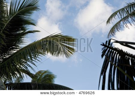 Tropical Skies Thru The Palms