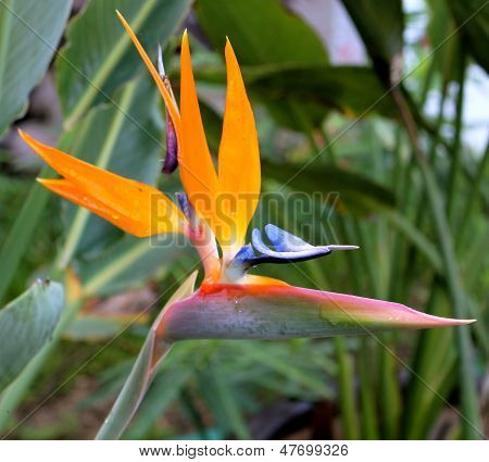 Profile of a stunning Strelitzia Reginae (commonly known as Bird of Paradise Flower) after a tropical rain in the Mayan Riviera, Mexico poster