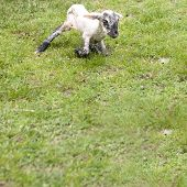 Newborn Lamb Trying to Stand for the First Time poster