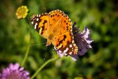 Furry Spotted Orange Spring Butterfly sitting on Green Vegetation with wings spread open and aperture blurred background poster