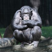 Worried Chimpanzee. poster