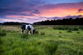 Apache horse grazing on pasture at dramatic sunset poster