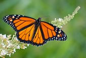Male Monarch butterfly feeding on a white flowers of a butterfly bush against summer green background poster