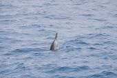 A pacific spinner dolphin breaching the surface off the coast of Hawaii. poster