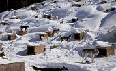 A large kennel in winter houses a sled dog team. The individual doghouses provide shelter during storms and overnight even through the dog's fur keeps them warm.. poster