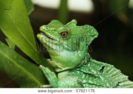 Close Up Of Green Basilisk Lizard