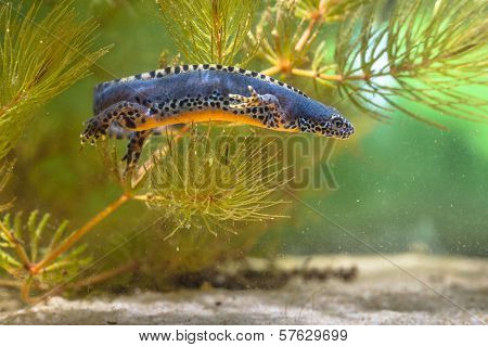 Male Alpine Newt Swimming Under Water