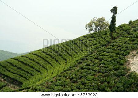 Tea Garden On Mountain Slope