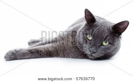 Green eyed Maltese cat also known as the British Blue