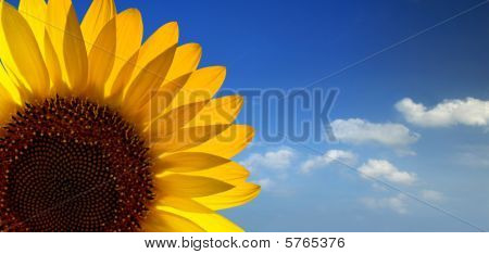 A bright fresh sunflower in sky