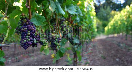 Pinot Noir Panoramic