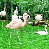 A Pink flamingos at the zoological garden poster