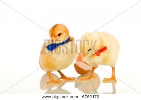 Easter party chickens with colored scarves - isolated with reflection poster