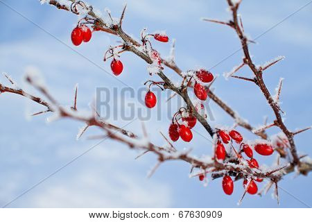 Red berries of barberry covered with hoarfrost.