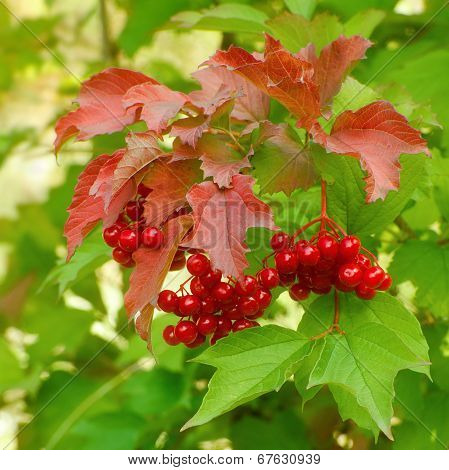 Branch of red berries of a guelder-rose