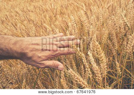 Farmer Hand In Wheat Field.