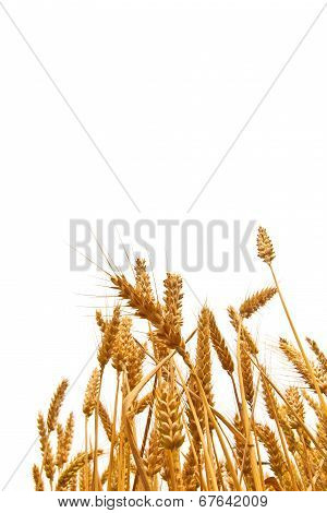Wheat Ears In The Field On White Background