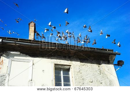Pigeons In Ljubljana