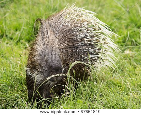 Image of a porcupine wandering in the green grass. poster