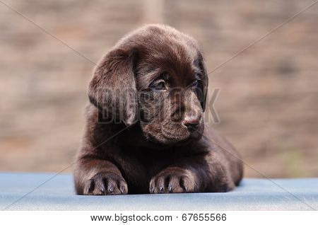 Two Month Puppy Of Labrador