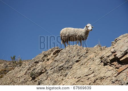 Sheep in the mountain