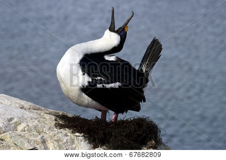 Antarctic blue-eyed cormorant nest tokuyuschy spring day poster