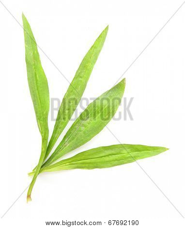 Ribwort plantain (Plantago lanceolata) leaves is used frequently in tisane and other herbal remedies. Plantain is one of the most abundant and accessible medicinal herbs.